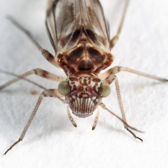 barklouse - Indiopsocus new-to-fauna