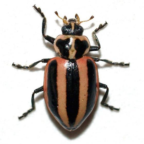 Coccinelidae - Paranaemia vittigera