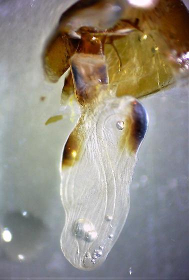 Caenurgina crassiuscula - Clover Looper - Hodges#8738 - Caenurgina crassiuscula - female
