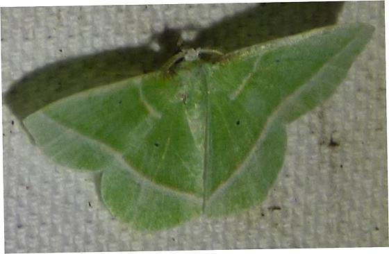 Dichorda iridaria - Showy Emerald - Dichorda iridaria