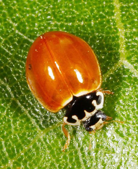Coccinelidae - Cycloneda munda