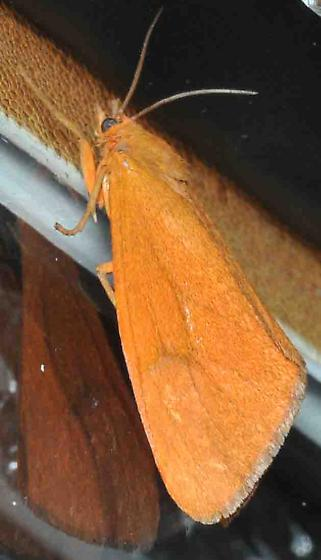 Virbia aurantiaca