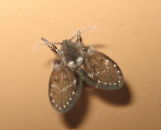 Flies From The Bathroom At Work Clogmia Albipunctata