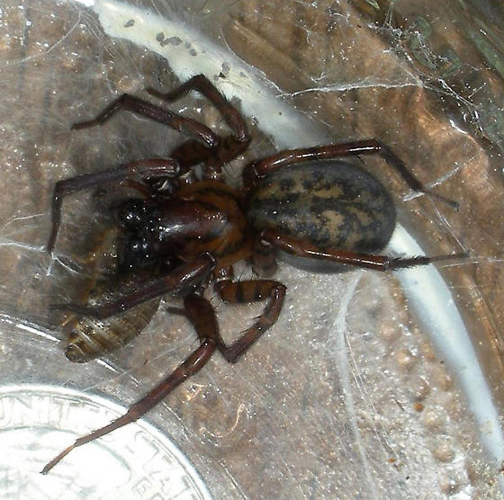 Big Brown Spider - male
