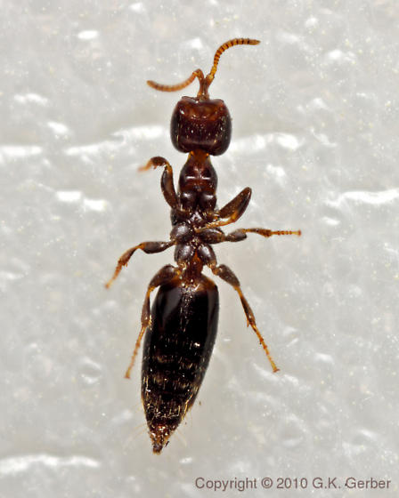 Tiny Wingless Wasp - Sclerodermus - female