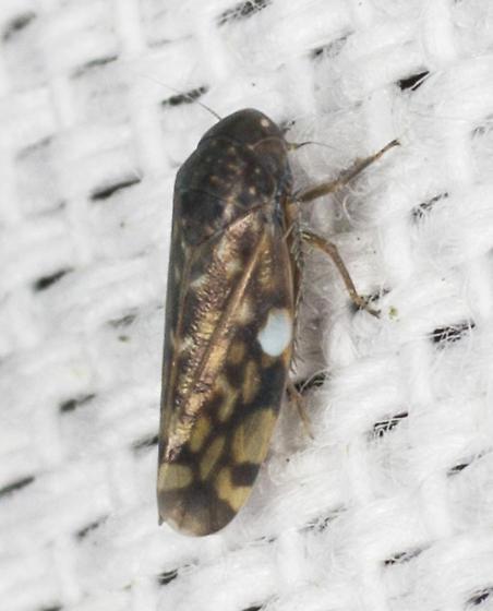 Leafhopper with white spot  - Xestocephalus