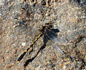 Progomphus obscurus - male