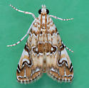 4751 Waterlily Borer Moth  - Elophila gyralis - male