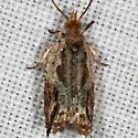 Unknown Micromoth - Ancylis