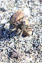 Wolf Spider (marine intertidal hunter) - Pardosa