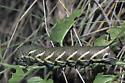 Five-spotted Hawk Moth Caterpillar - Manduca quinquemaculatus
