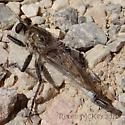Robber fly - male