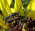 Black longhorn beetle with yellow stripes - Lophalia cyanicollis