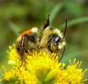 Give A Wave - Bombus ternarius - male