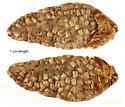 Unknown egg mass 2 - Alsophila pometaria