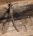 Myrmeleontidae - Mexoleon papago - female