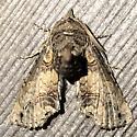Paectes abrostoloides - male