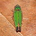Green leafhopper - Tylozygus geometricus