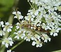 Flower Longhorn - Strangalia luteicornis