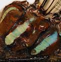 thorax pattern: Sedge Darner - Aeshna juncea