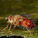 Parasitic Fly - Hystricia abrupta