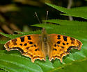 Satyr Anglewing from Big Sur, CA - Polygonia satyrus - male