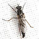 Stiletto Fly  - Ozodiceromyia