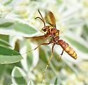Poecilopompilus interruptus - female