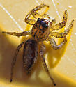 jumping Spider - Maevia inclemens - female