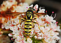Dilley Wasps & Bees #6 - Eucerceris provancheri