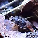 Bug - Micracanthia humilis