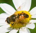 Black-hourglassed fly - Eristalis tenax - male