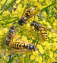 German Yellowjackets - Vespula germanica