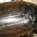 Predacious Diving Beetle - Colymbetes paykulli