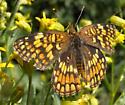 Medium-sized butterfly - Chlosyne palla - female