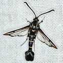 Currant Clearwing Borer Moth - Hodges #2553 - Synanthedon tipuliformis - male