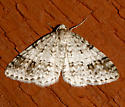 Welsh Wave - Venusia cambrica