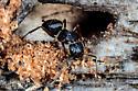 Carpenter Ant Washington State - Camponotus modoc - female