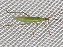 Plant Bug Maybe ? - Megaloceroea recticornis