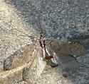 Western Dobsonfly? (Corydalus cognata) - Neohermes californicus