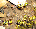 Swarming flying bees/wasps stung my father-in-law multiple times - Vespula squamosa