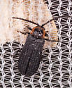 Beetle for ID - Plateros