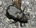 Scarab - Cremastocheilus canaliculatus