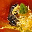 large megachilid on Opuntia cactus - Lithurgopsis apicalis