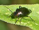 Red-eyed plant bug - Slaterocoris atritibialis