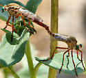 Mating thieves - Diogmites angustipennis - male - female