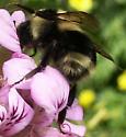 Bumble Bee? - Bombus melanopygus - female
