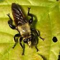Laphria - Laphria posticata