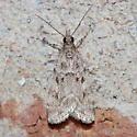 Moth - Scoparia basalis