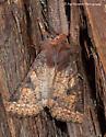Xestia species? - Orthosia praeses